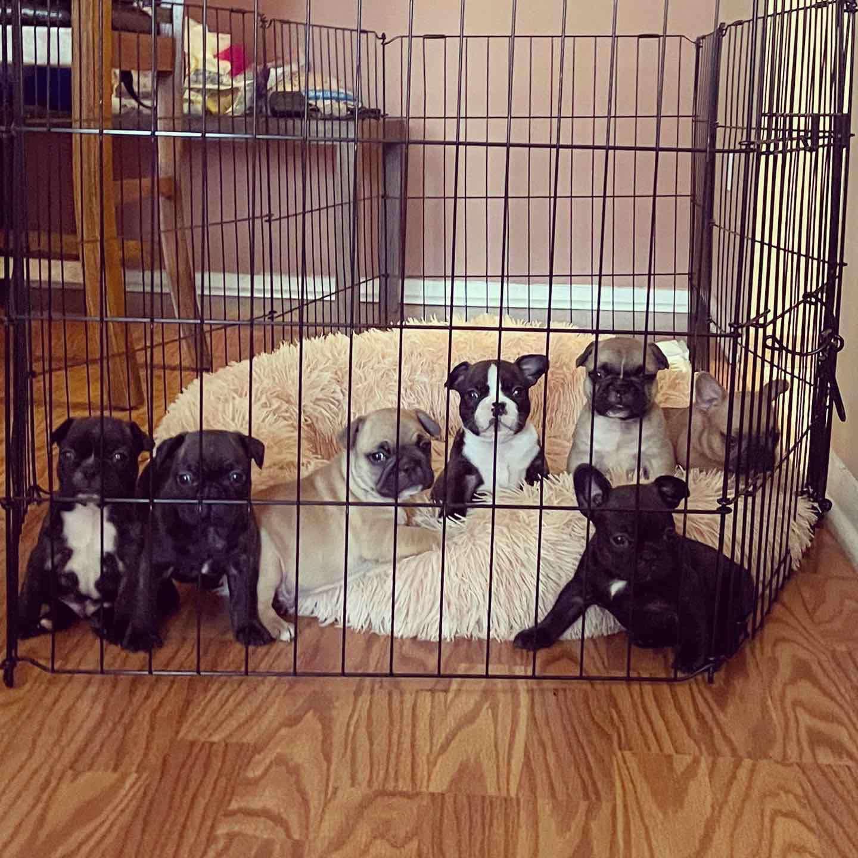 Na prodaju štenci čistokrvnog francuskog buldoga